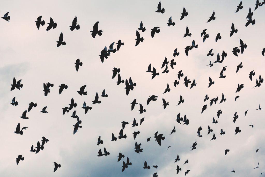 Flying pidgeons - free stock photo