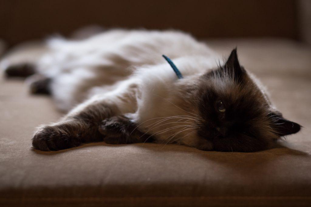 Lazy cat - free stock photo