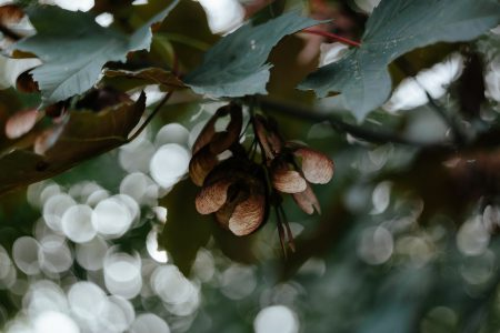 Maple tree bokeh - free stock photo