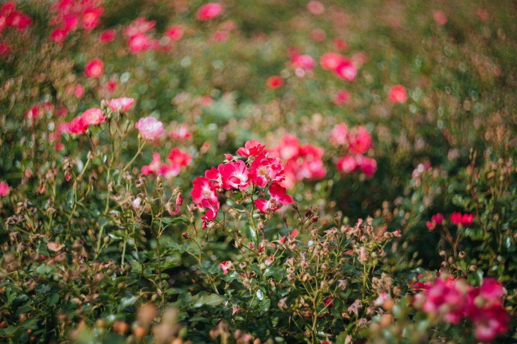 Park flowers 2 - free stock photo