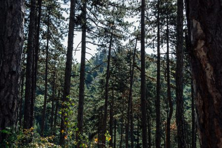 Pine forest - free stock photo