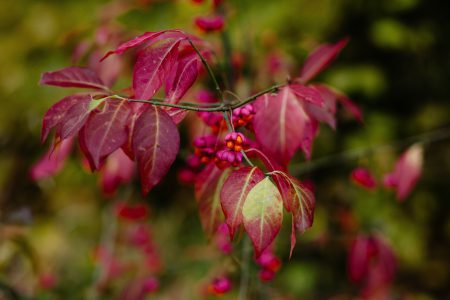 Red spindle tree - free stock photo