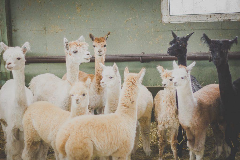 Alpacas - free stock photo