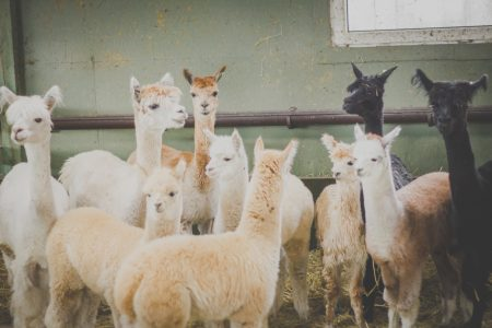 Alpacas - free stock photo