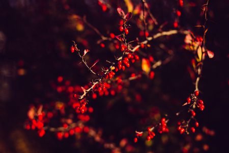 Autumn barberry - free stock photo