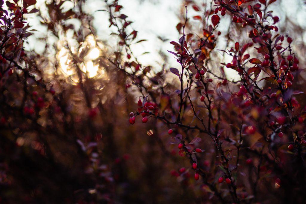 Autumn barberry 2 - free stock photo