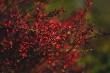 Autumn barberry 3 - free stock photo