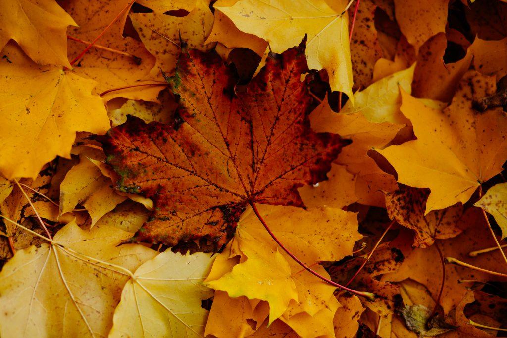 Autumn leaves 3 - free stock photo