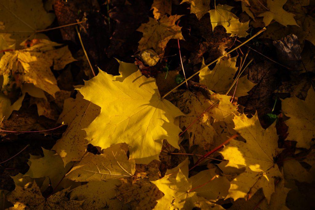Autumn leaves 4 - free stock photo