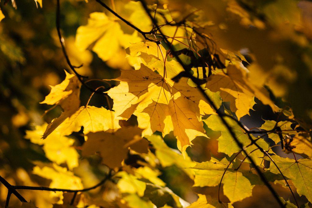 Autumn maple tree - free stock photo