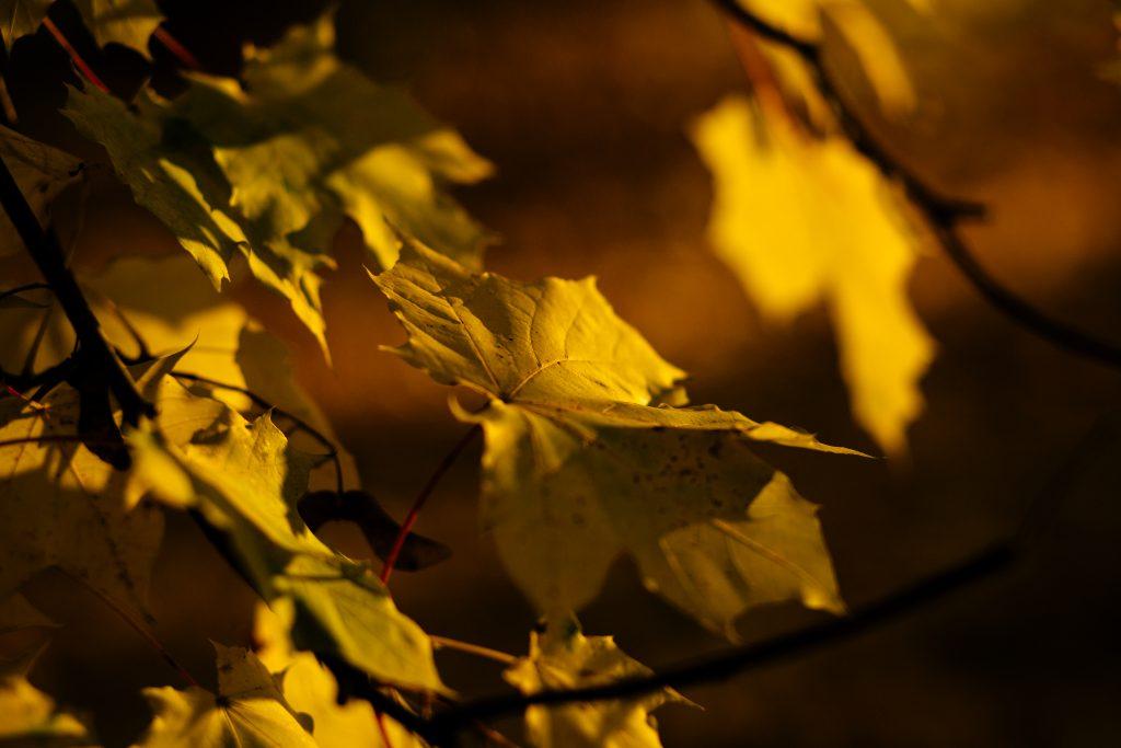 Autumn maple tree 2 - free stock photo