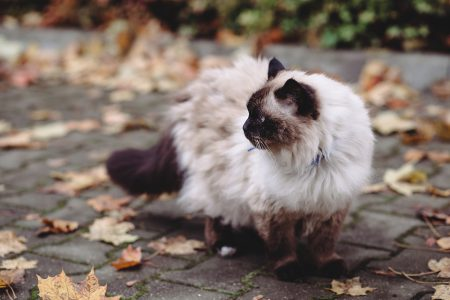 Birman cat - free stock photo