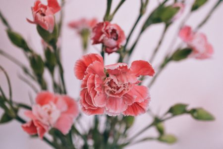 Carnations - free stock photo