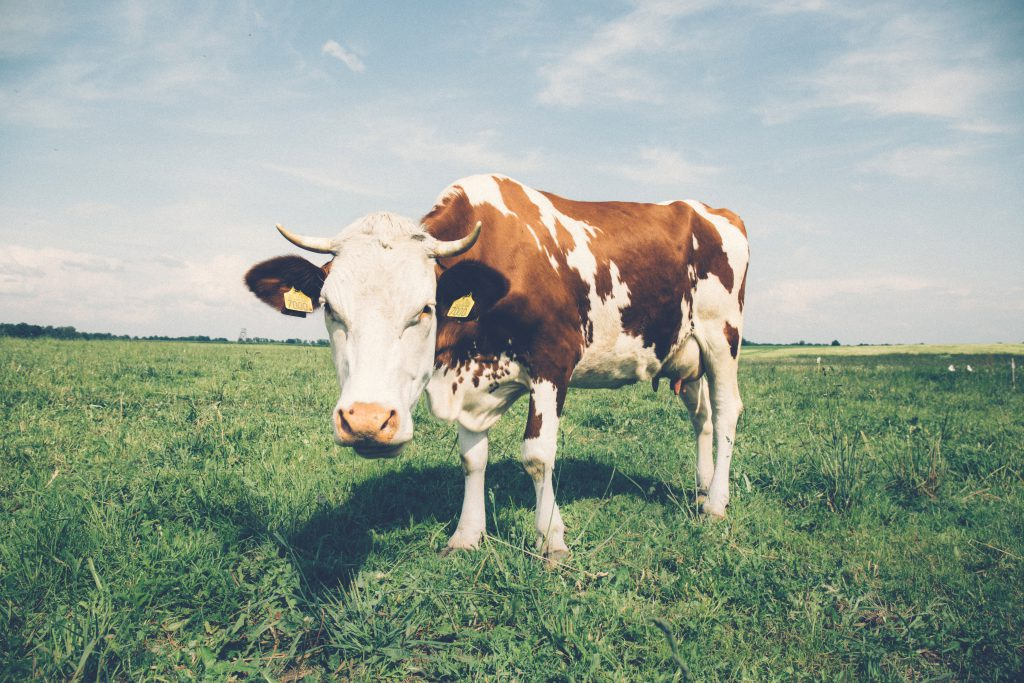 Cow in the meadow - free stock photo