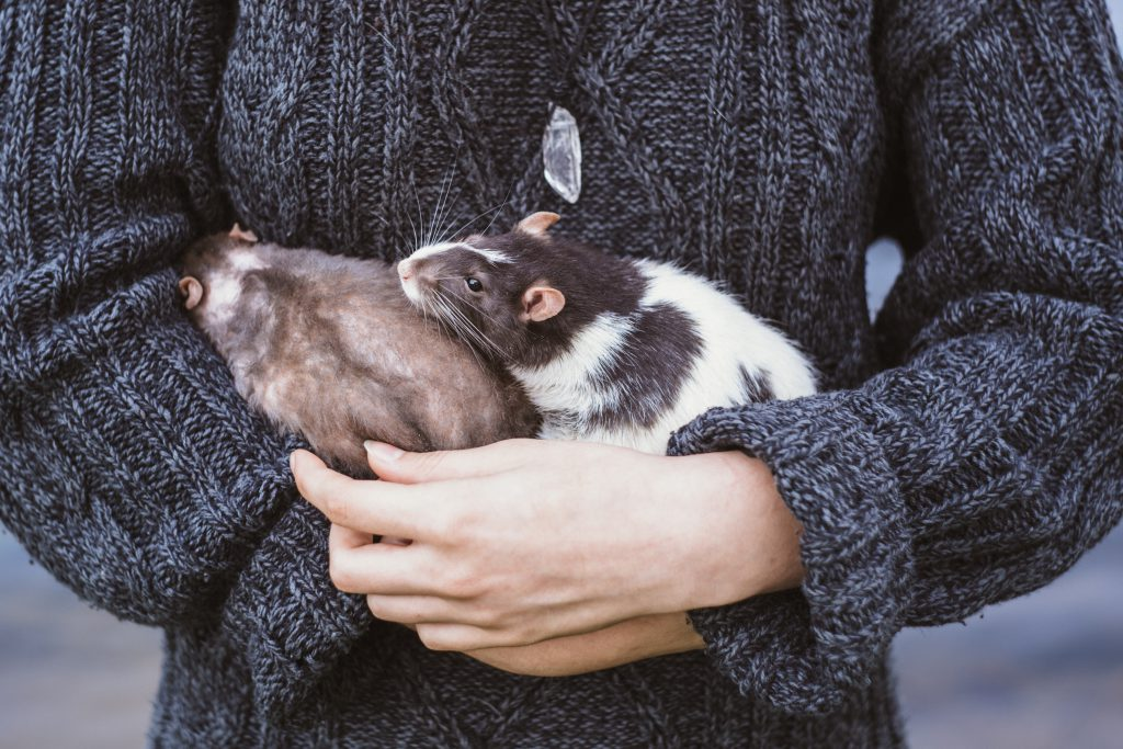 Girl with two rats 2 - free stock photo