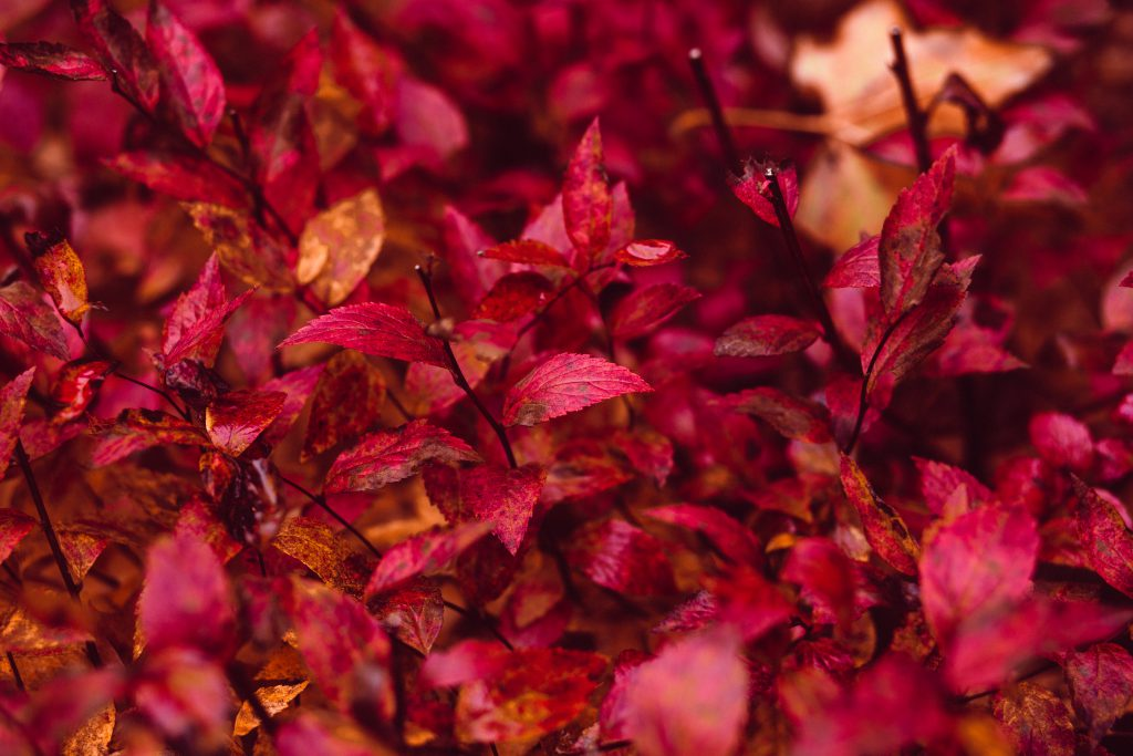 Red leaves - free stock photo