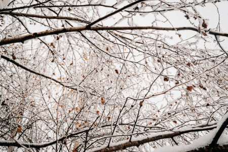 Snow on tree branches - free stock photo