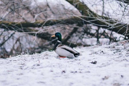 Winter duck - free stock photo