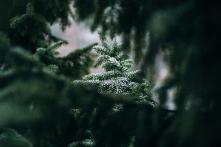 Frosted spruce - free stock photo