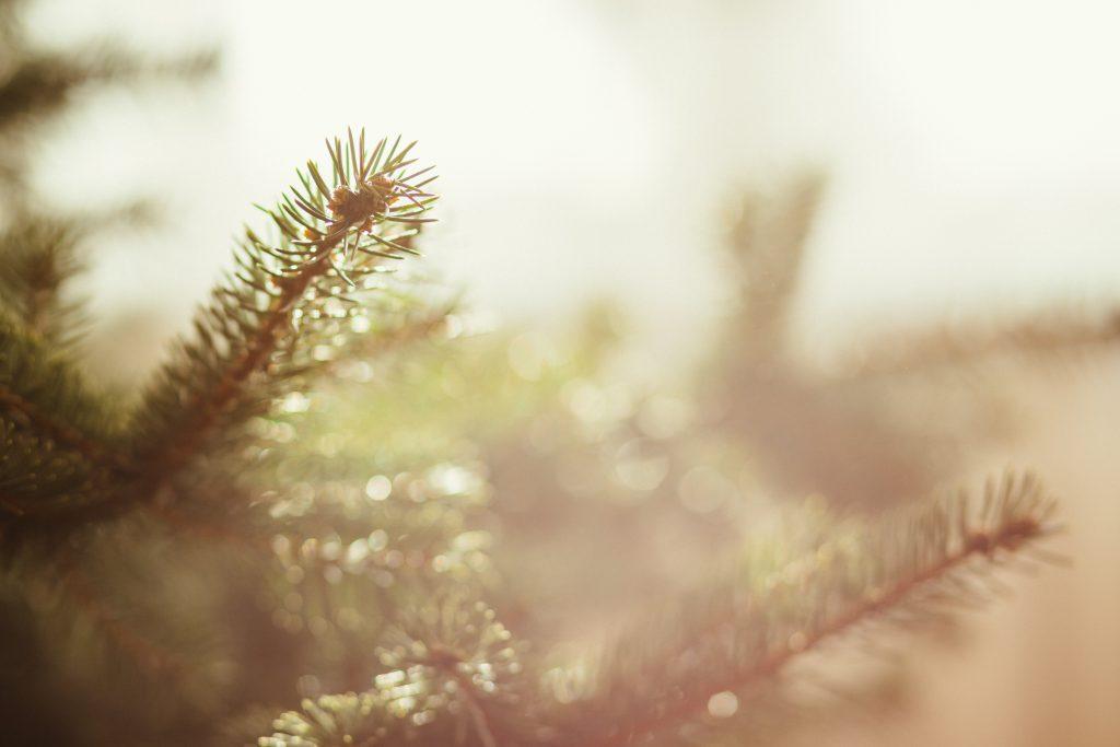 Spruce close-up - free stock photo