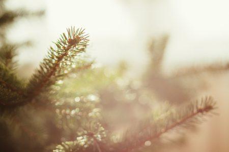 Spruce close-up