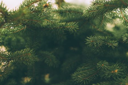 Spruce close-up 2 - free stock photo