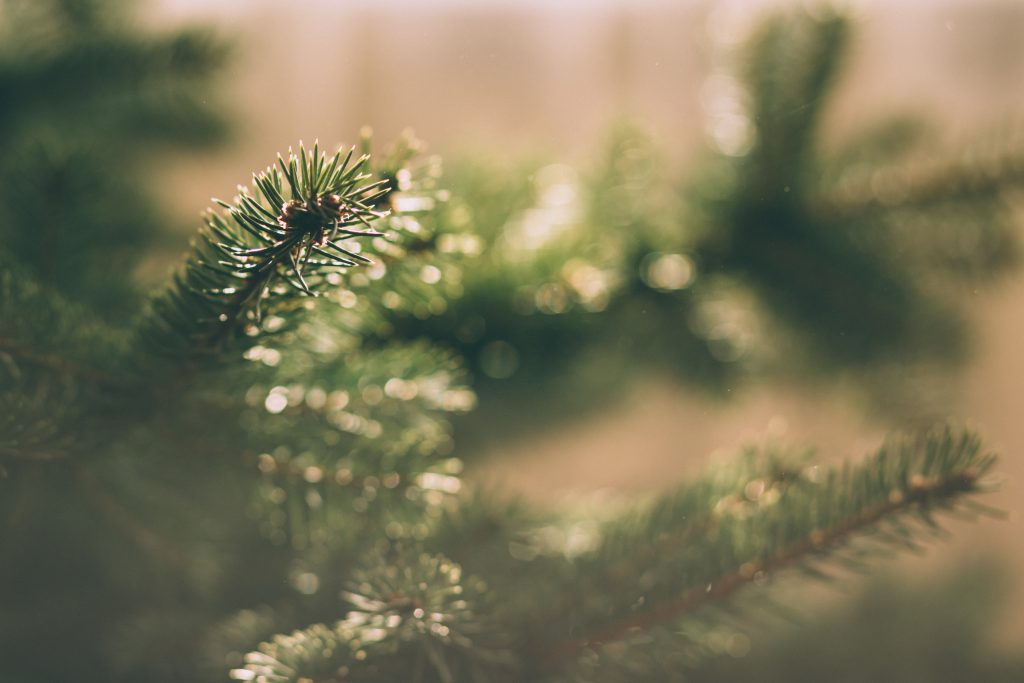 Spruce close-up 3 - free stock photo