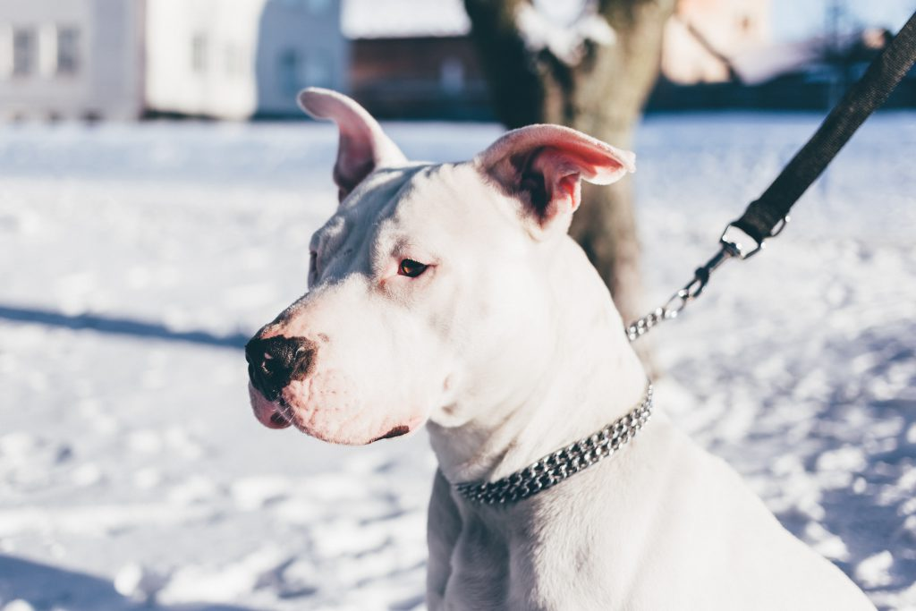 American Staffordshire Terrier - free stock photo