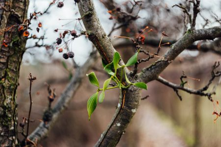 Spring mistletoe - free stock photo