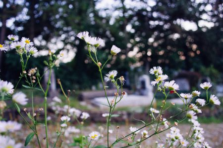 Cemetery camomile - free stock photo