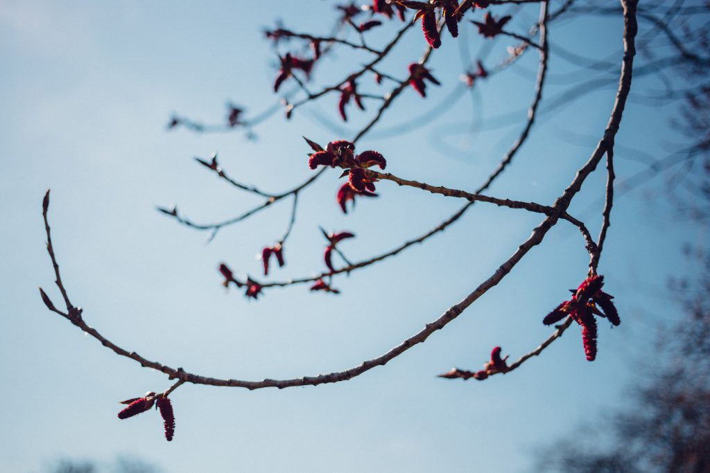 Black poplar flowers - free stock photo