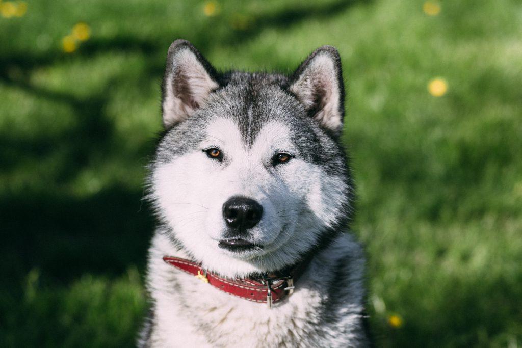 Young Husky - free stock photo