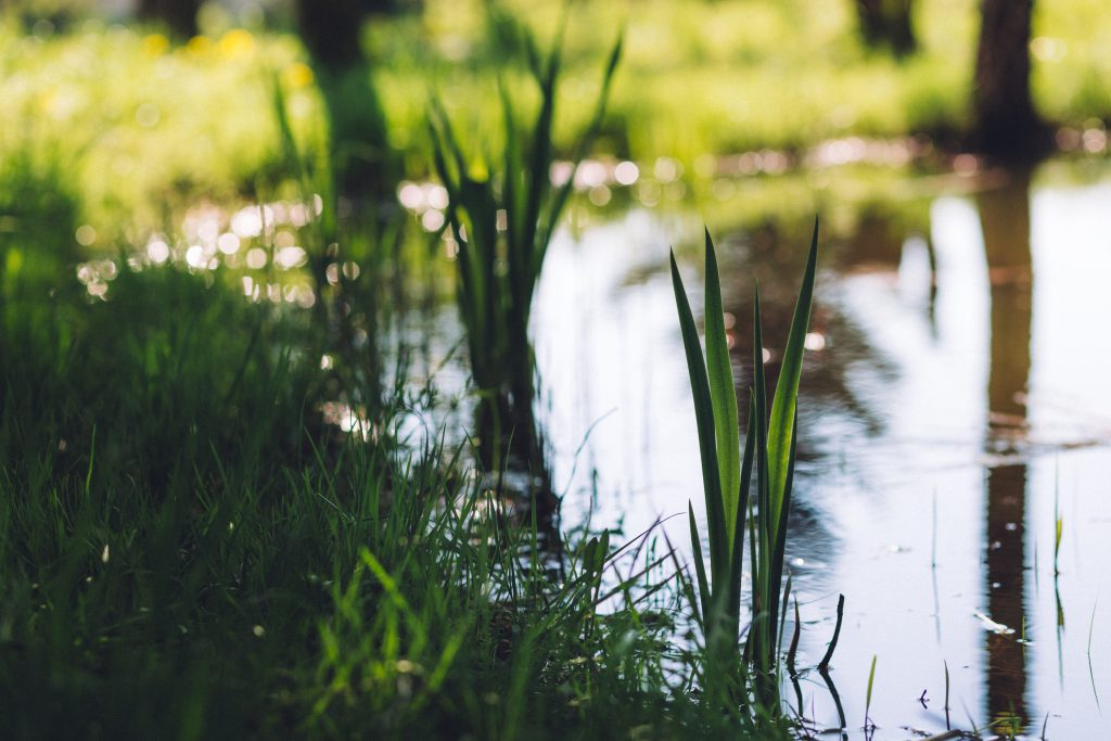 Grass at the pond - free stock photo
