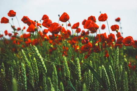 Poppies 4 - free stock photo