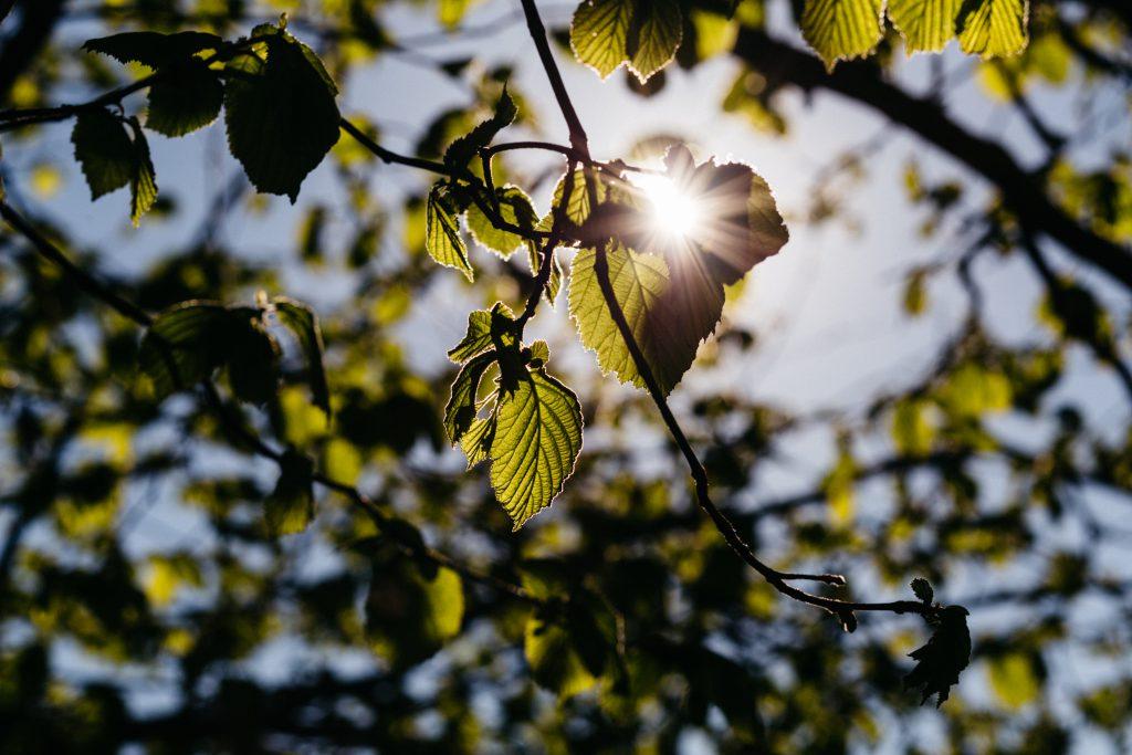 Sun rays through hazel leaves - free stock photo