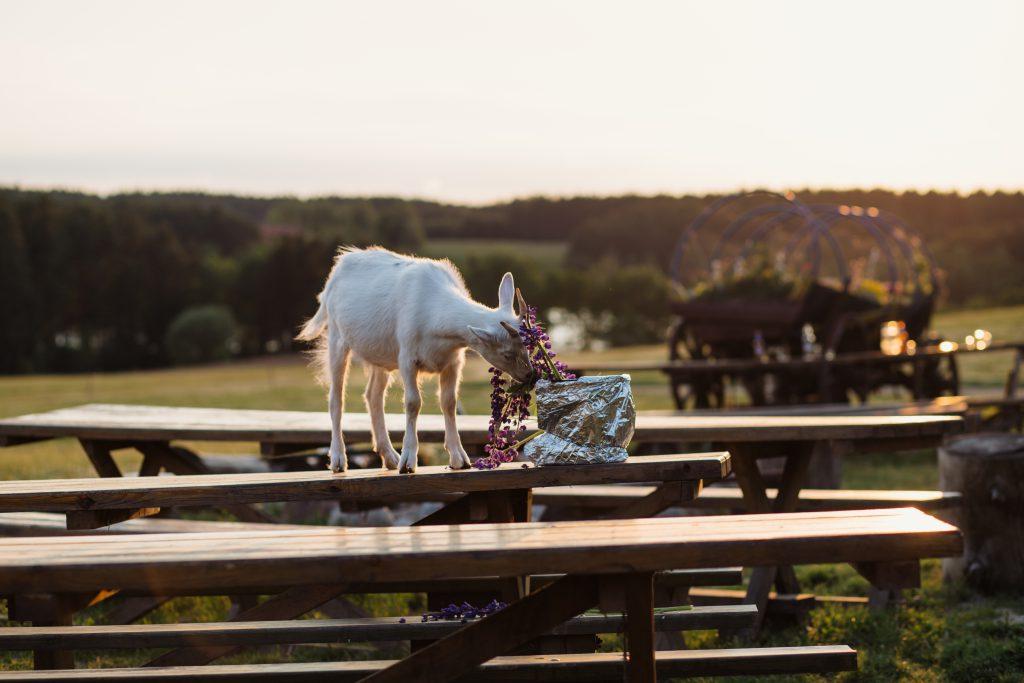 Baby goat eating lubine - free stock photo