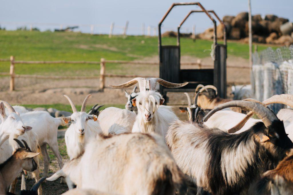 Goat farm - free stock photo