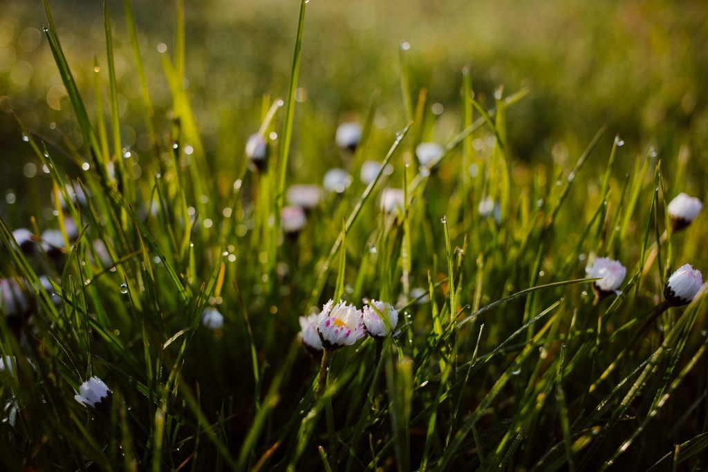 Morning dew on camomile - free stock photo