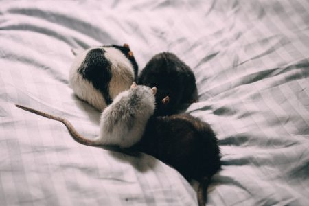 Four rats in bed sheets - free stock photo