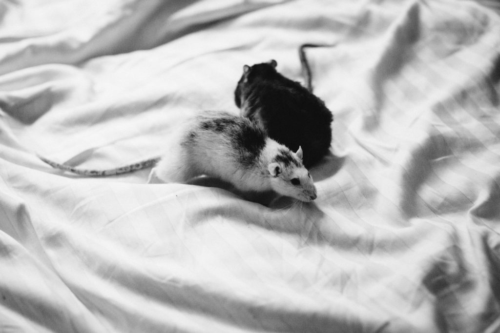 Two rats in bed sheets - free stock photo