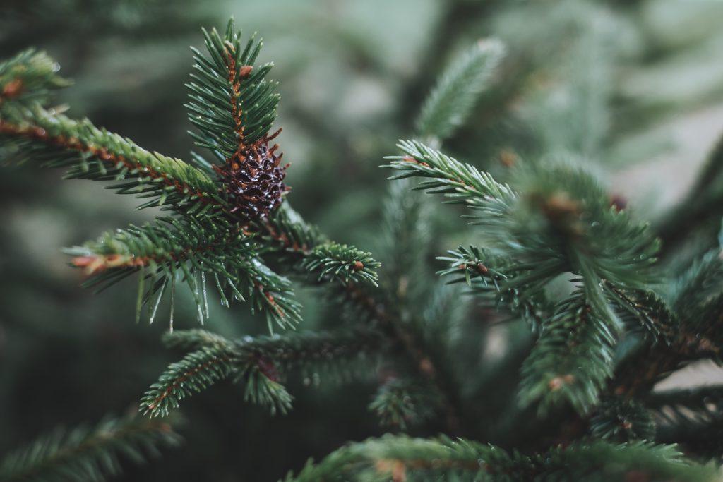 Spruce close-up 4 - free stock photo