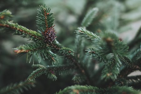 Spruce close-up 4 - free stock photo