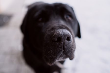 Black labrador nose closeup - free stock photo