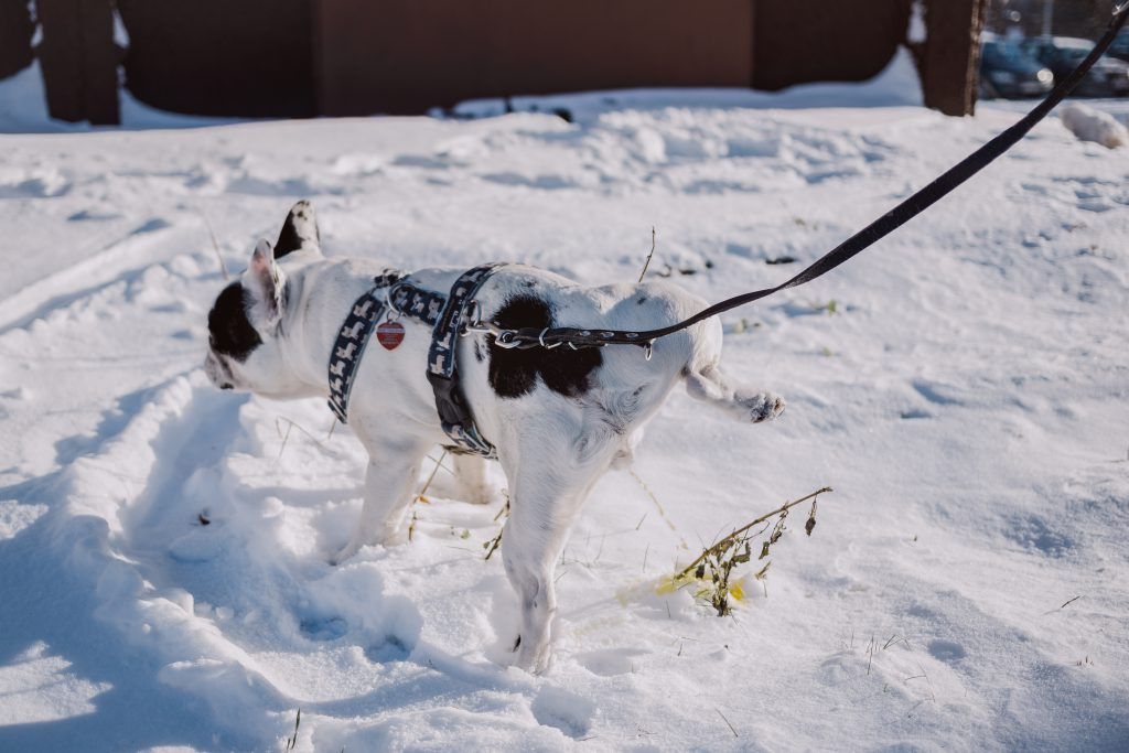 A dog peeing in snow - free stock photo
