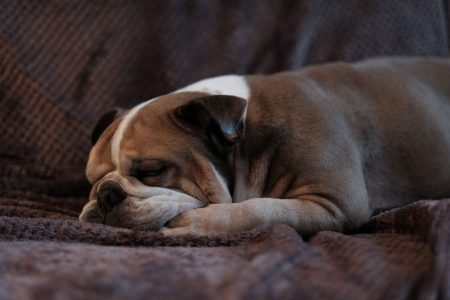English Bulldog lying on a sofa - free stock photo