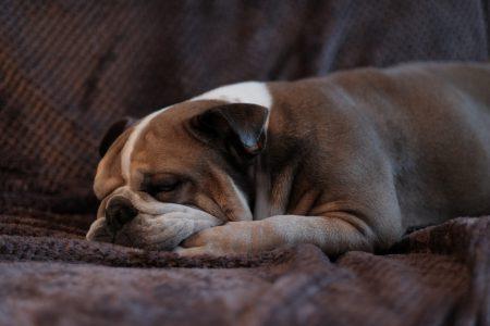 English Bulldog lying on a sofa