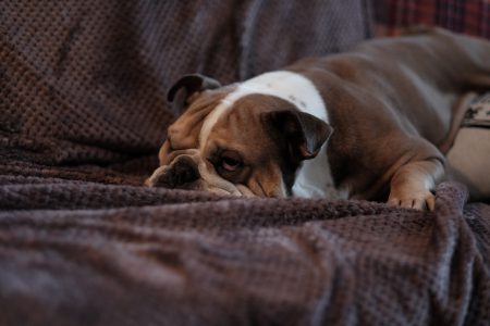English Bulldog lying on a sofa 2