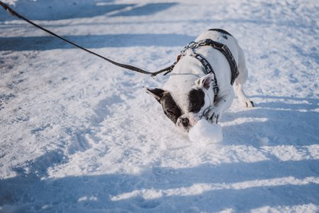 French Bulldog playing with snow - free stock photo