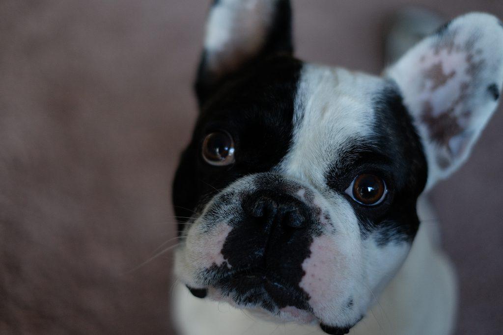French Bulldog portrait - free stock photo