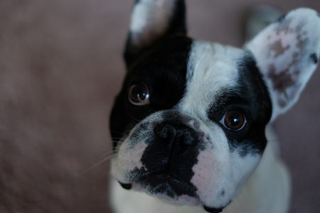 French Bulldog portrait - free stock photo